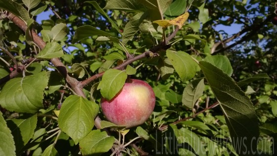 Apple in orchard 1
