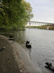 rail bridge w willow