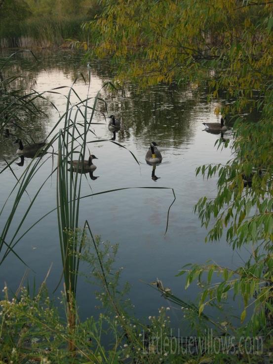 richfield geese 1