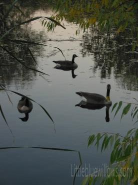 richfield geese 2