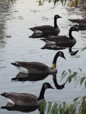 richfield geese 3
