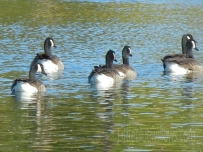geese swim away
