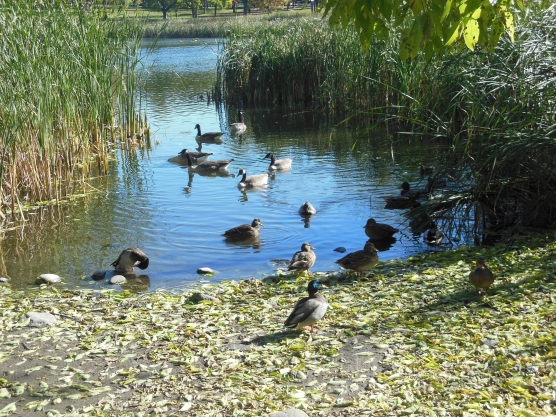 loring ducks and geese